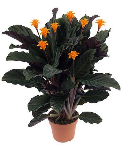 Комнатные цветы калатея фото